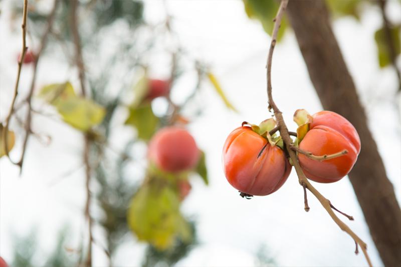 ハウス内の柿の写真