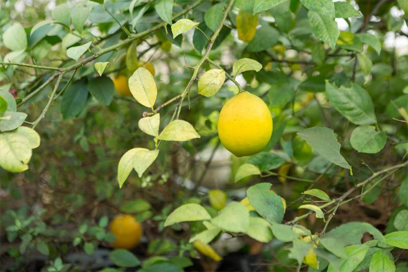 ハウス内のレモンの写真