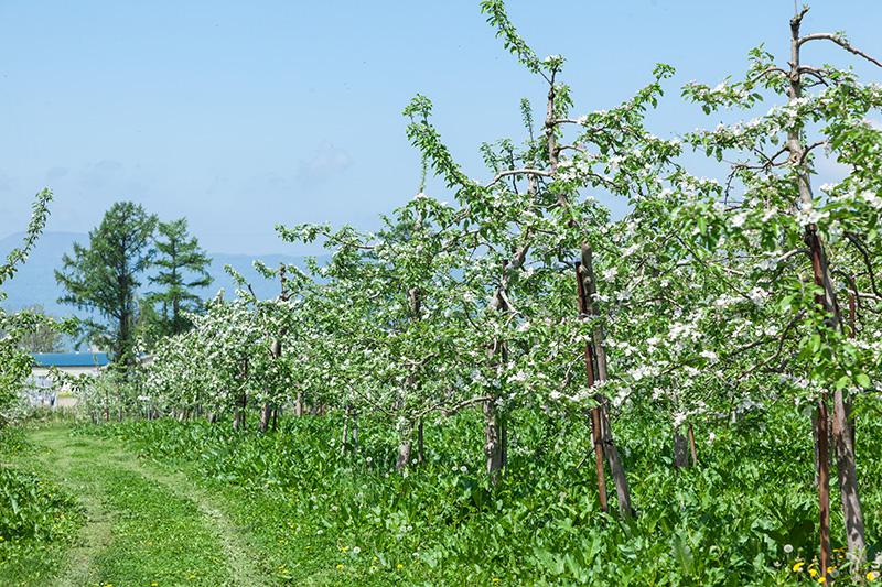 りんごの木写真2