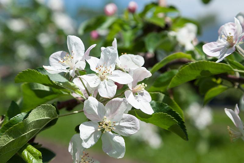 りんごの花写真1